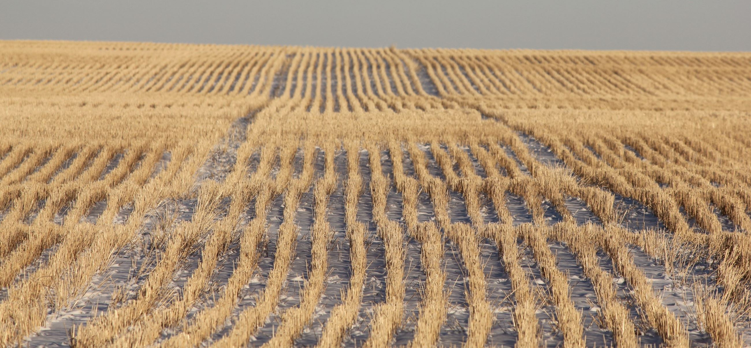 Image of wheat field in winter